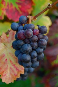bunch of grapes, vineyard, Champagne Ardennes