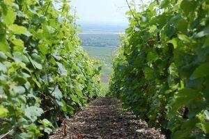 Lifeline in vineyard Champagne Ardennes, France